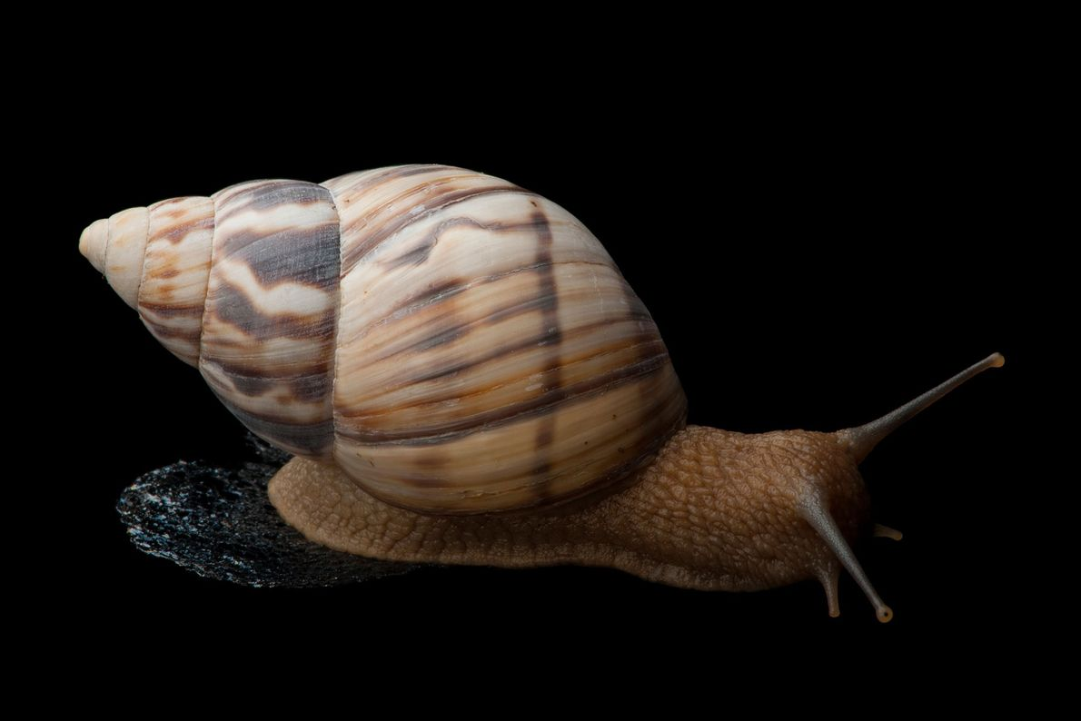 A Stock Island tree snail, Orthalicus reses reses, a federally-endangered species.