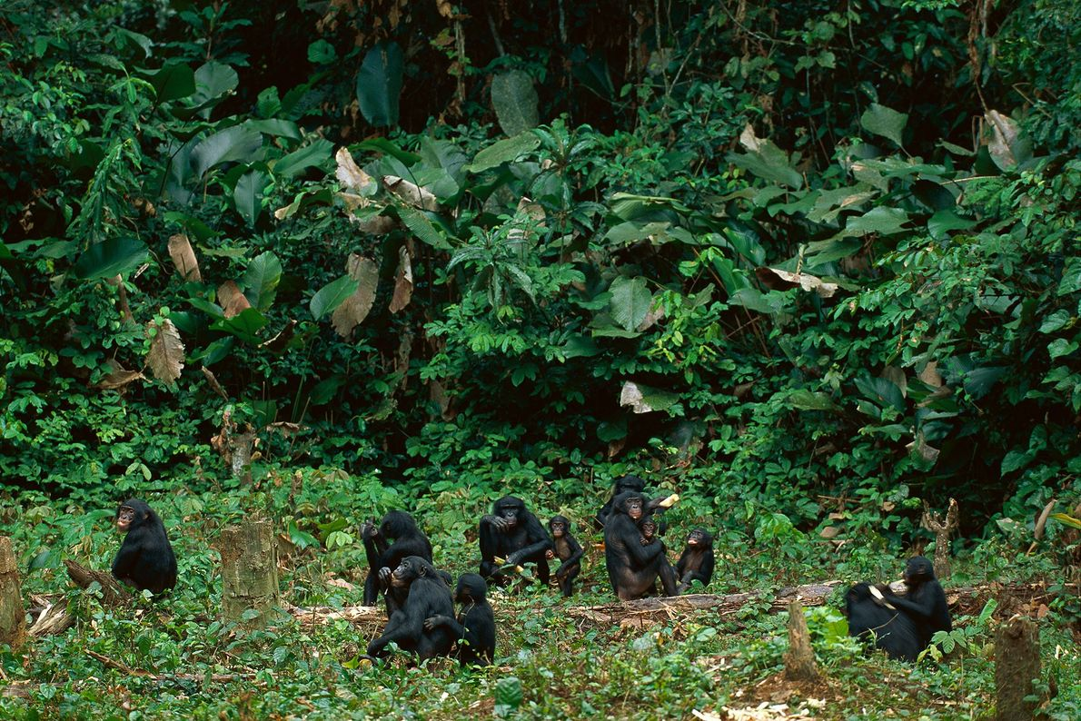 A bonobo family sits in forest clearing in the Democratic Republic of Congo.