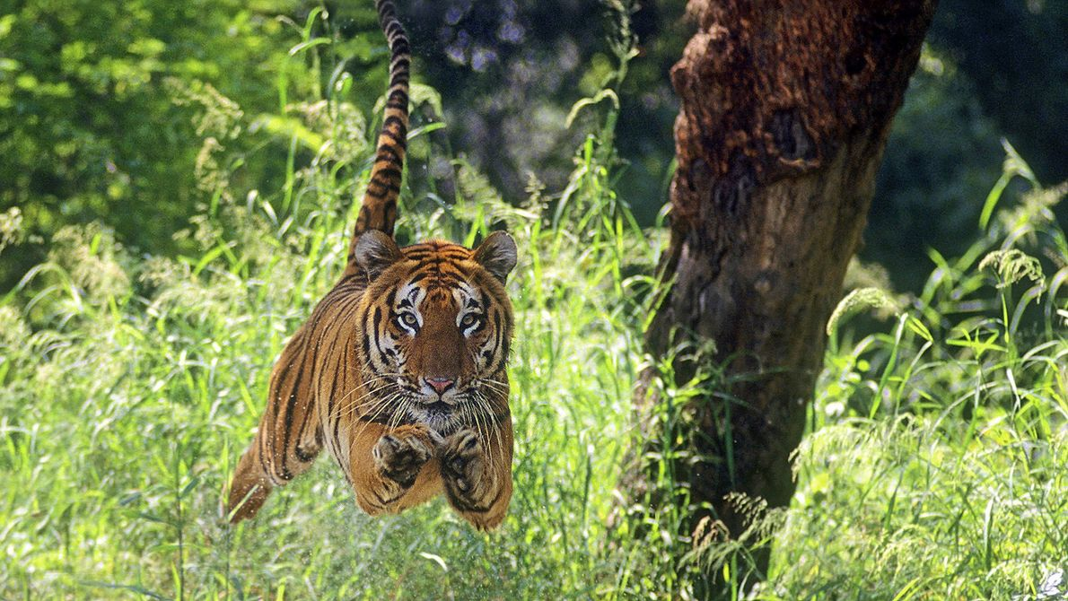 Bengal tiger caught mid-leap while charging at its prey.