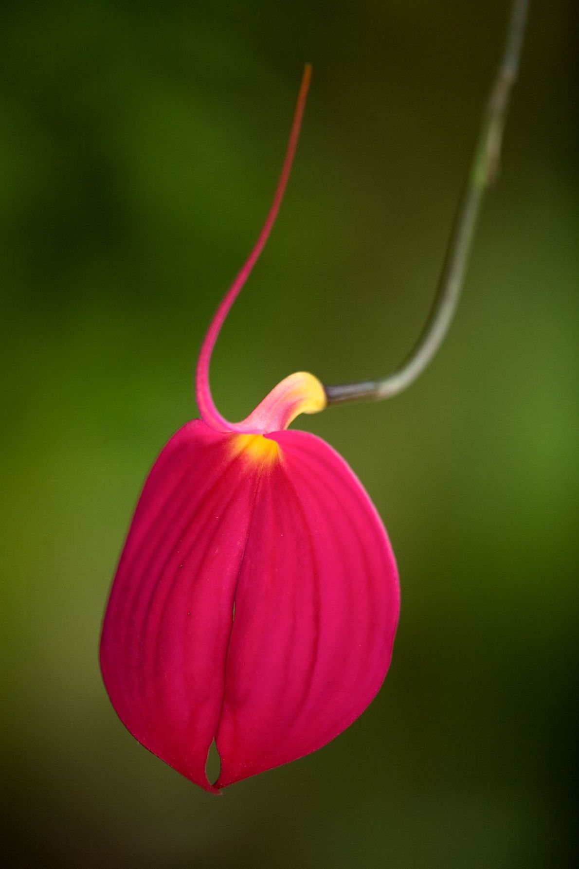 The Masdevallia coccinea orchid's fuchsia petals make it attractive to orchid hobbyists.