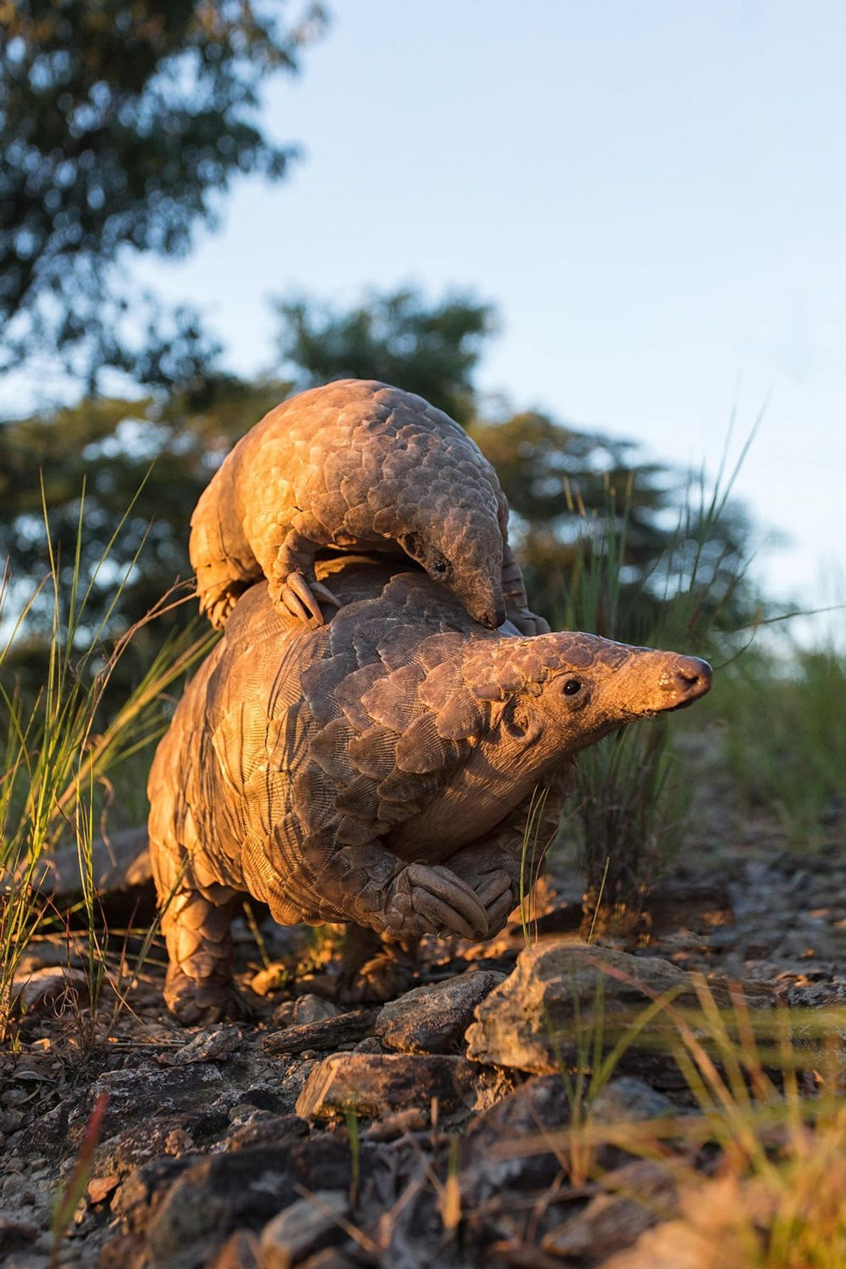 A pangolin usually has just one baby at a time. If the mother feels threatened, she ...