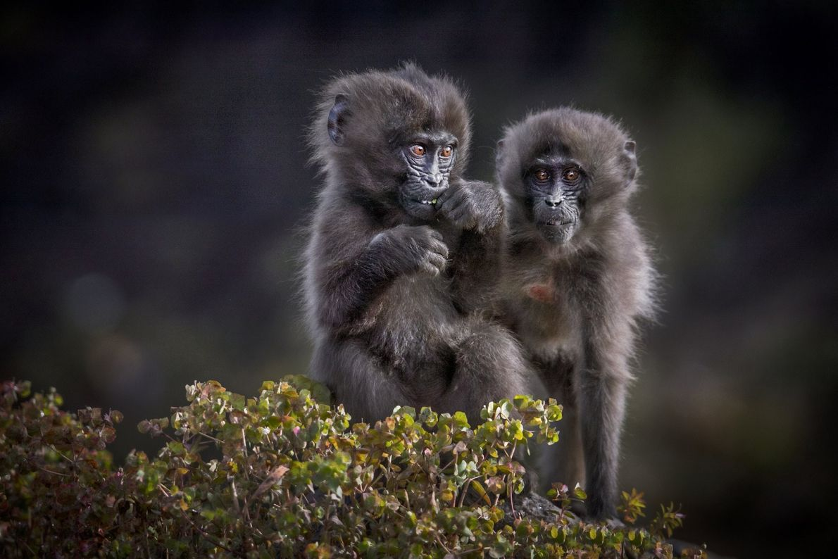 Your Shot photographer Kevin Dooley made this image of two young gelada, also known as bleeding-heart ...