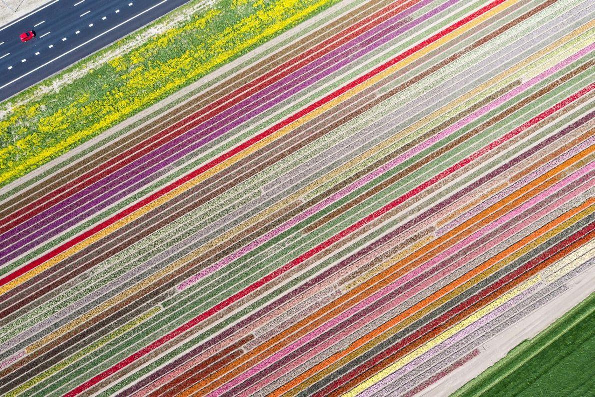 Your Shot photographer Peter van Haastrecht documented this aerial scene of tulips fields in the Netherlands. ...