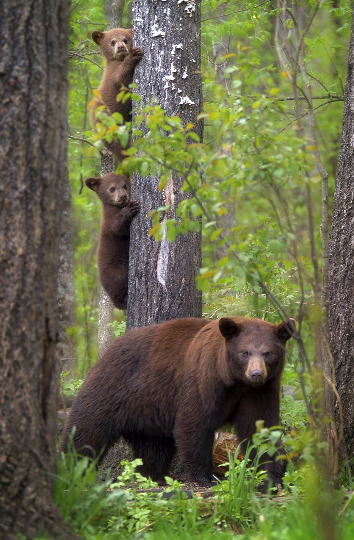Your Shot photographer Karen Hunnicutt-Meyer documented this mother bear with her cubs in the Northwoods near ...