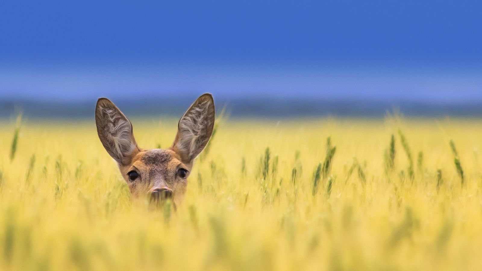 Your Shot photographer Zlatko Borenović documented this roe deer as it peeked out from high grasses.