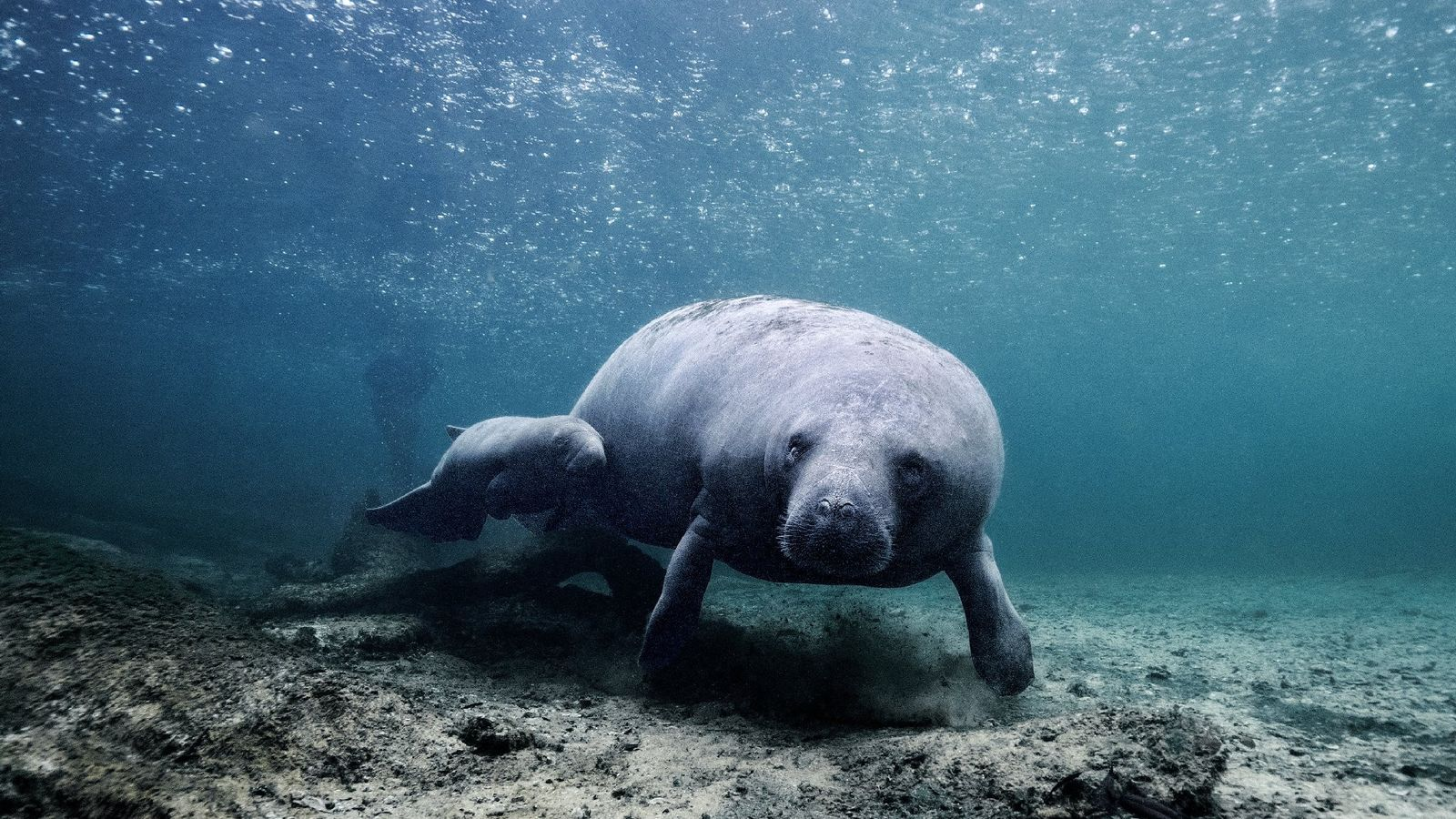 """""""Thousands of rain drops on the surface, the cutest little baby manatee swimming just below,"""" writes ..."""