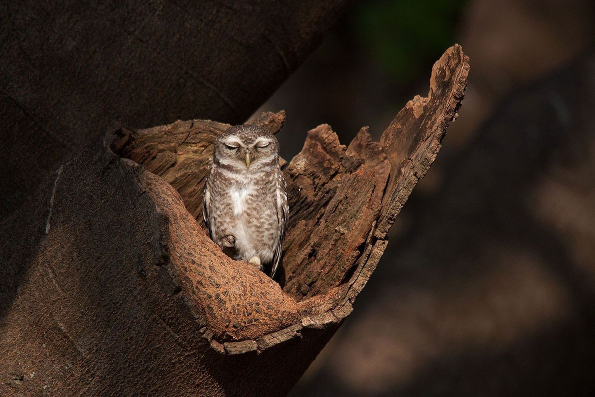 An owl catches a wink of sleep while taking in the early morning rays in Bangalore, ...