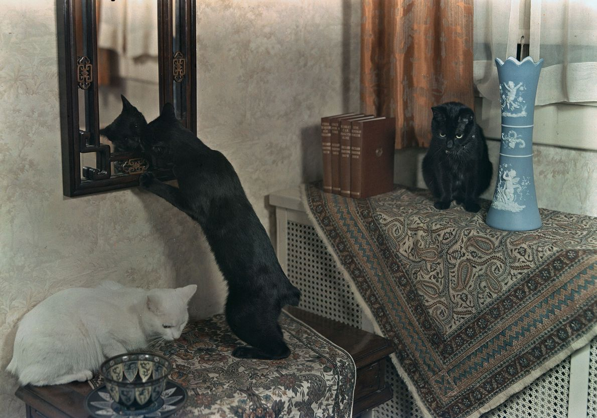 Three tailless Manx cats play on furniture in Washington, D.C.