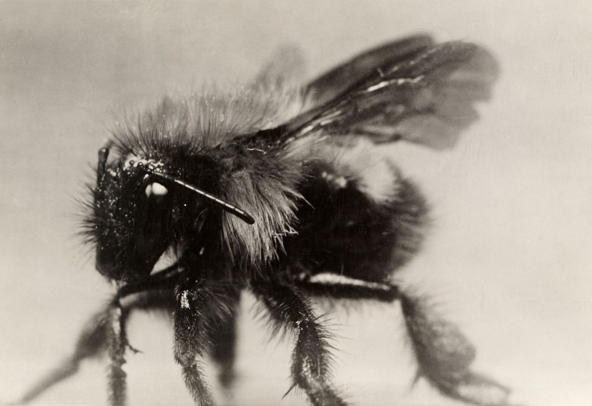 Bumblebees are crucial pollinators for human crops, including blueberries, cranberries, and tomatoes.