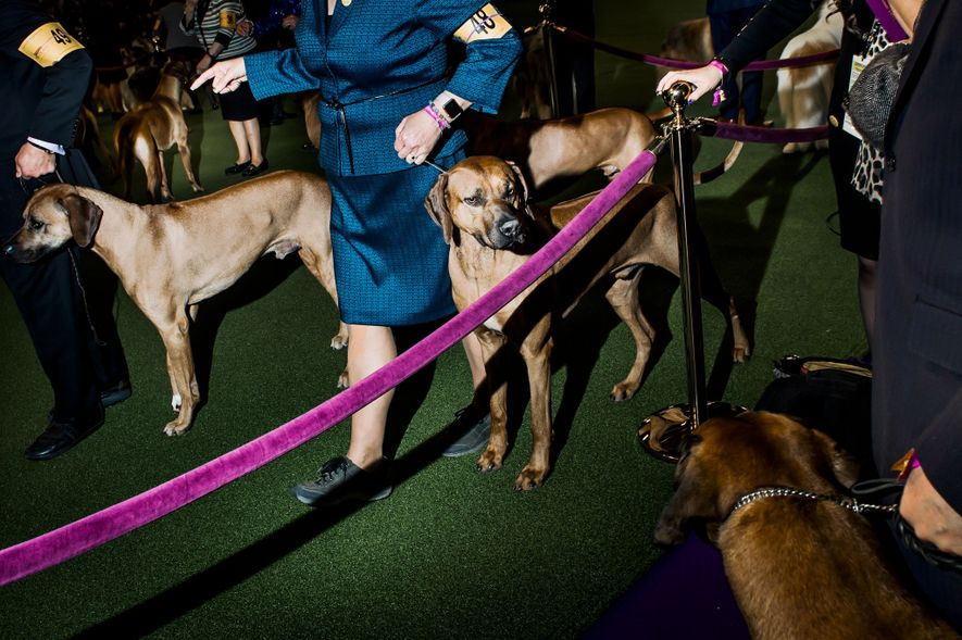 Dogs wait to be examined by judges.