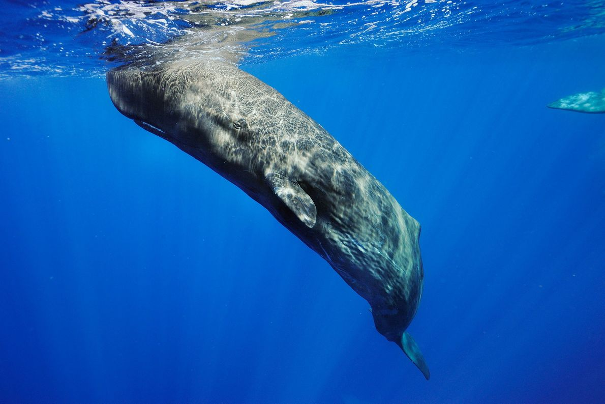 Sperm whales (pictured off the Azores) were intensely hunted for a fatty substance in their heads, ...