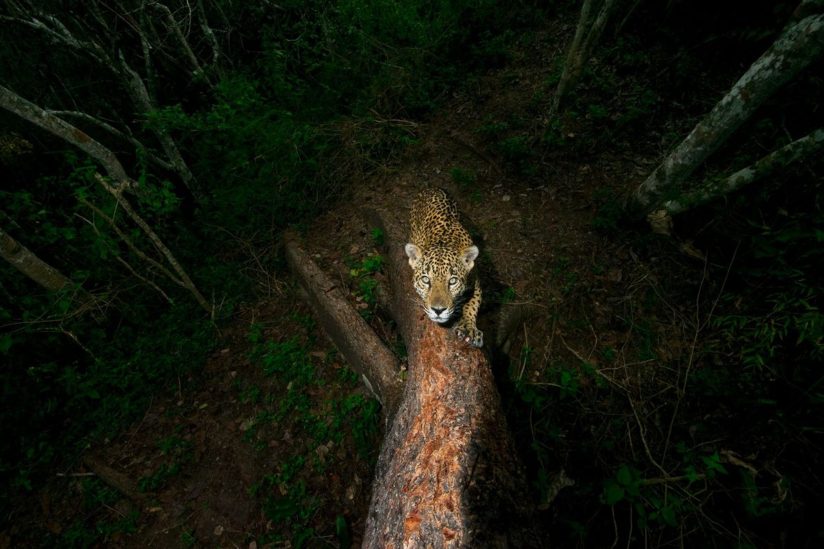 Alejandro Prieto's camera-trap photo of a jaguar sharpening his claws in western Mexico came in first ...