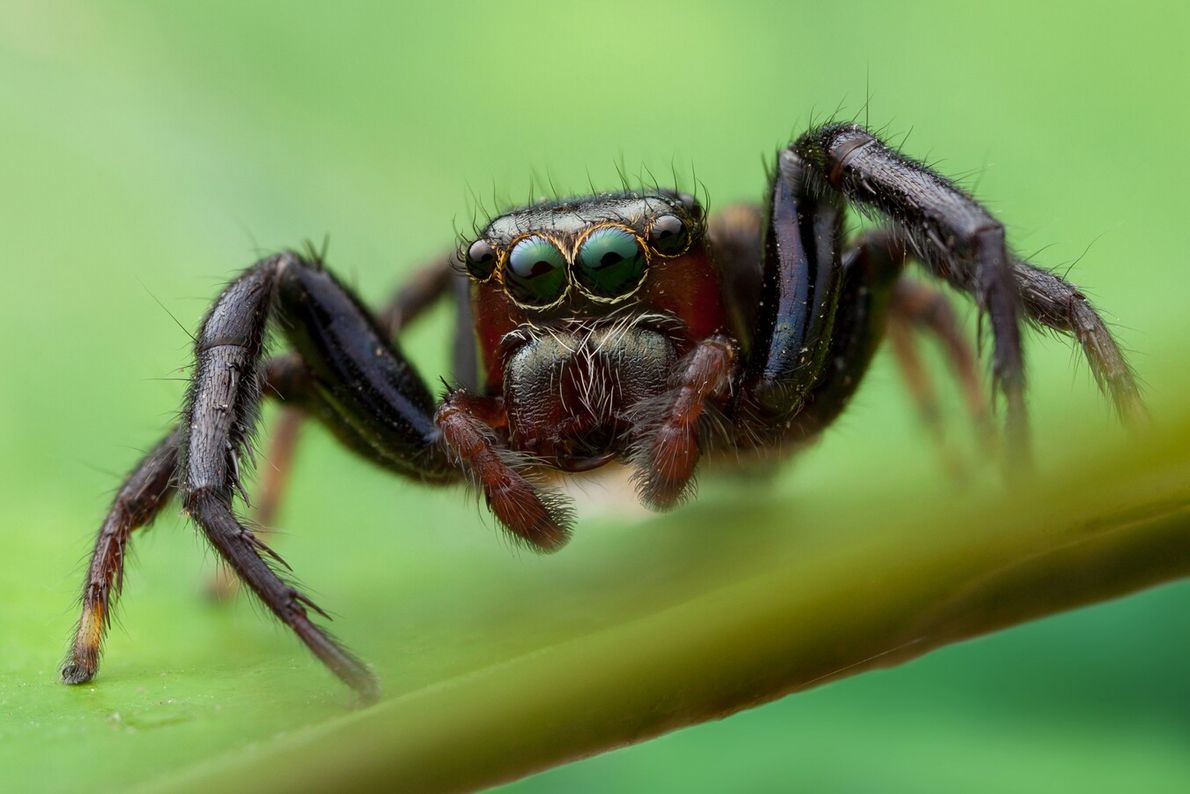 Jumping spiders do not build webs to catch prey, but instead ambush their victims after sneaking ...