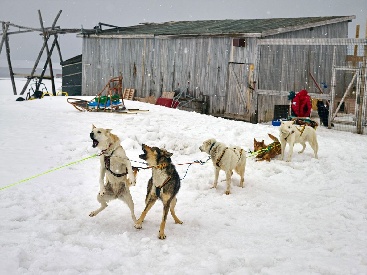 Sled dogs eagerly await a run at Ny-Ålesund research base. Dog sledding is a popular activity ...