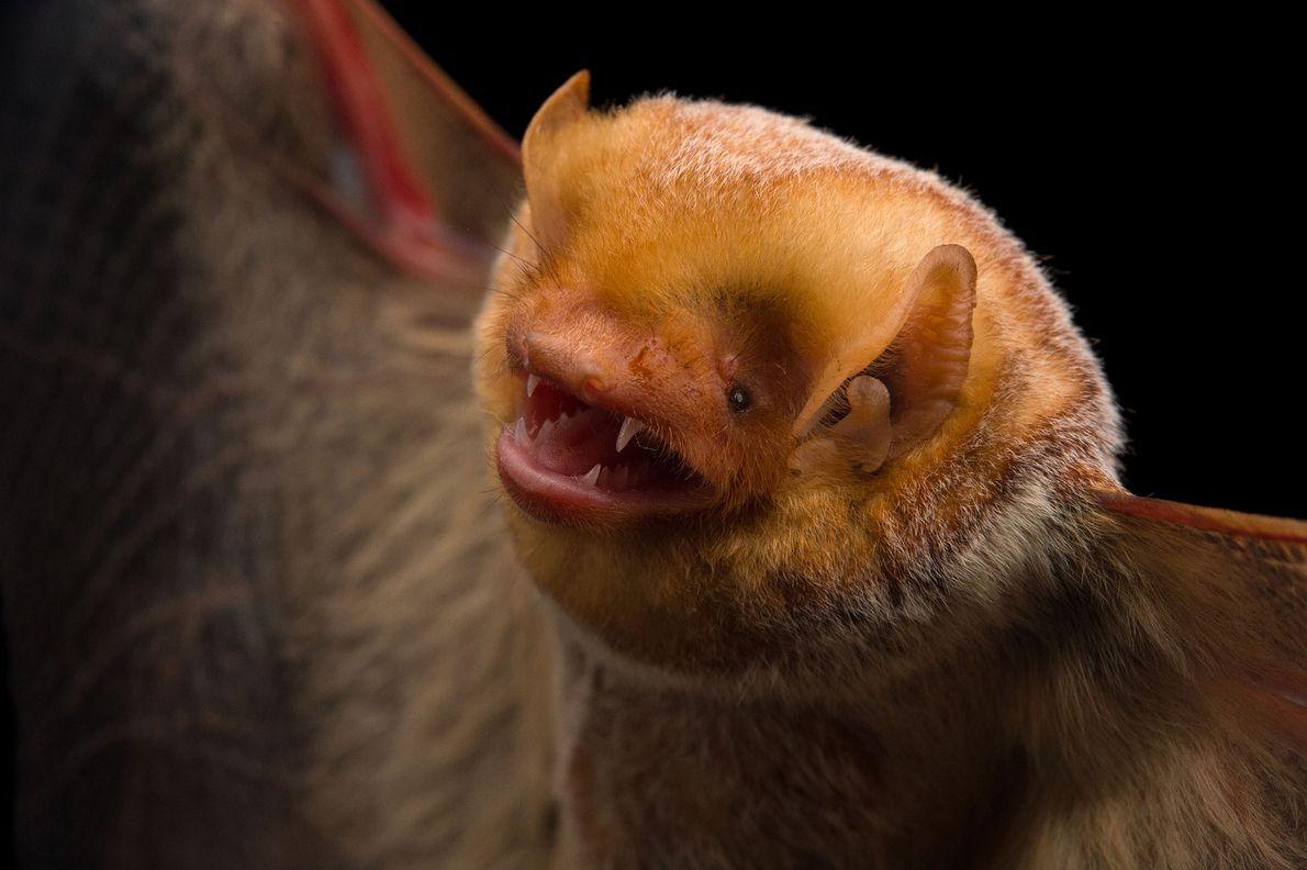 A female Eastern red bat, Lasiurus borealis, in Florida.