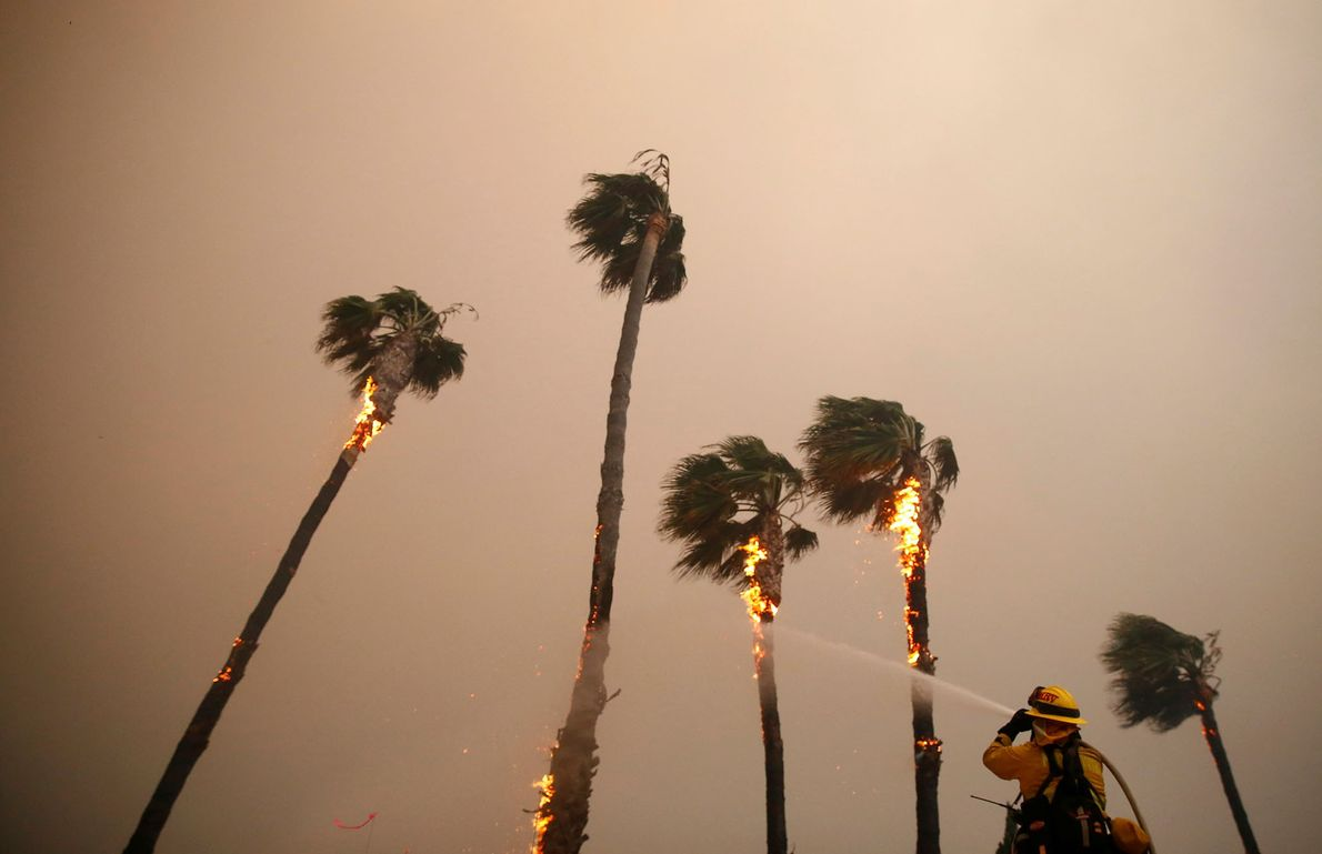 A firefighter sprays down palm trees scorched by the Woolsey Fire burns in Malibu.
