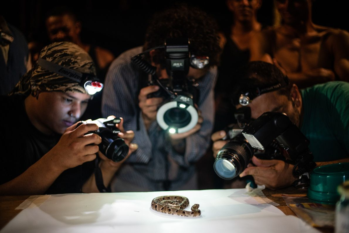 Scientists photograph a 'Xenodon rabdocephalus', or 'false fer-de-lance', a venomous, rear-fanged snake.