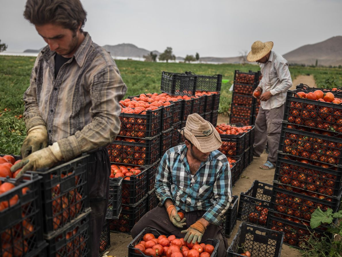 Harvesting tomatoes near Qalqachi village, West Azerbaijan Province, Iran. Tomatoes are used for making a thick ...