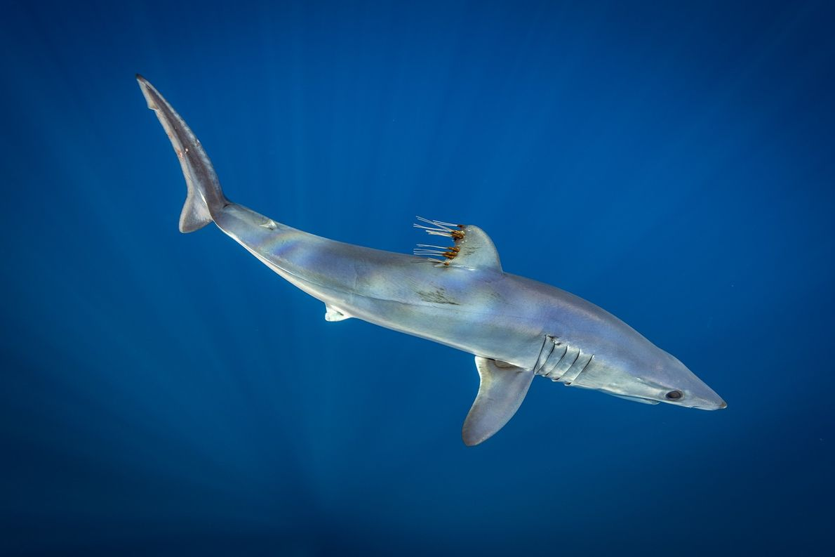 The mako is one of the fastest fish in the sea, swimming in bursts of 55 ...