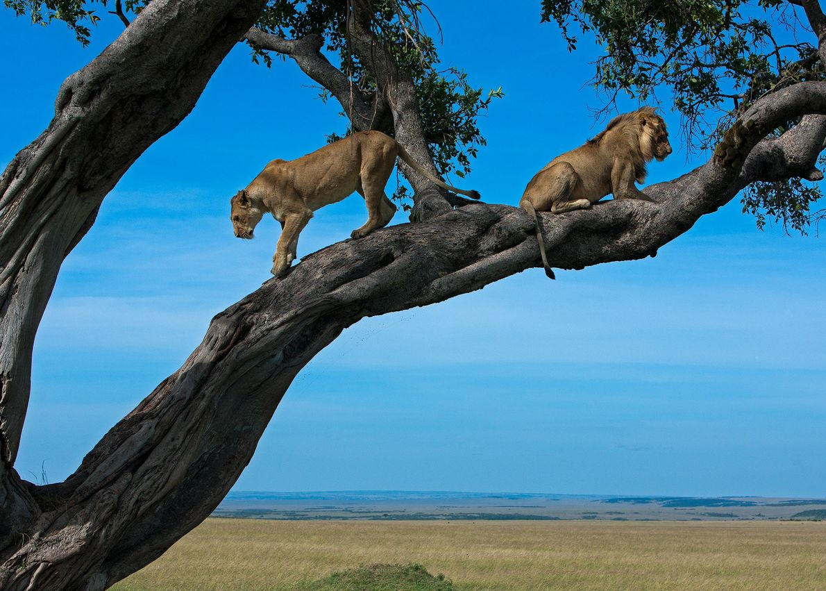 A lioness descends a tree at Masai Mara National Reserve, in the Narok County of Kenya. ...