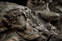 The nodosaur seems to flash a glare—an effect produced by the fossil's exquisitely preserved eye socket.