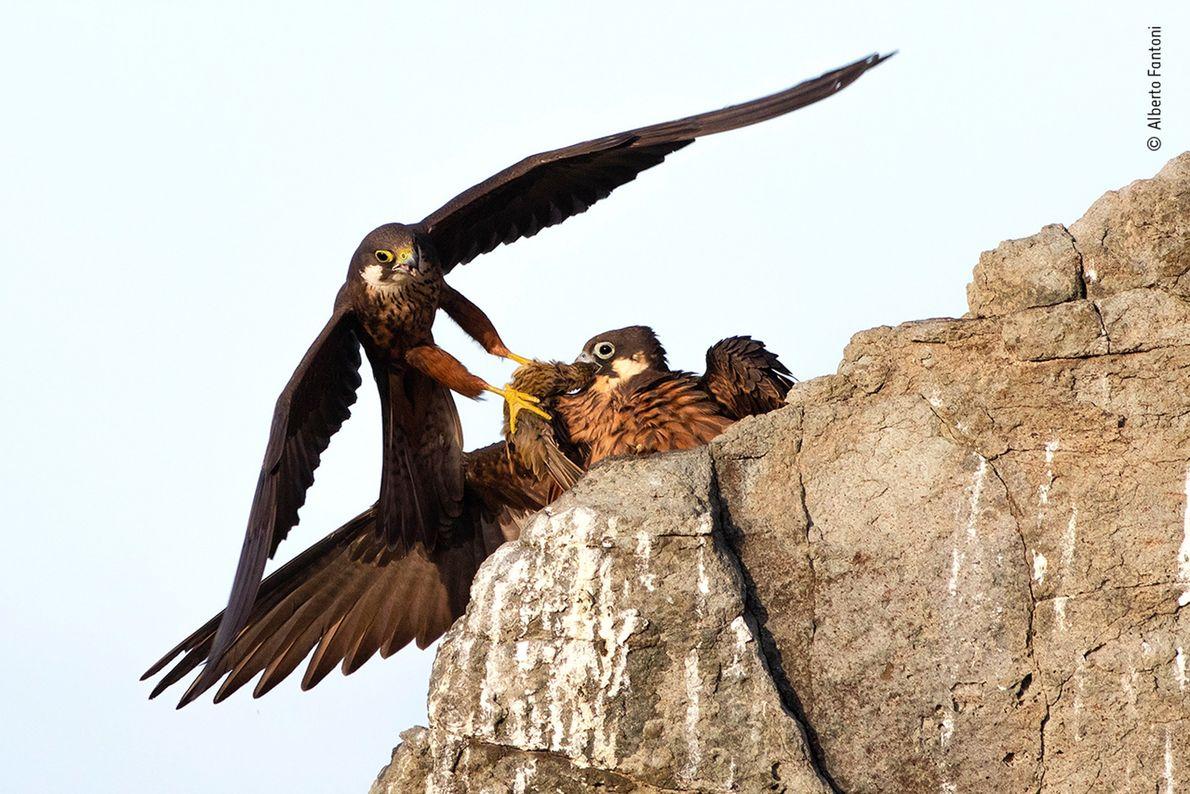 "Alberto Fantoni of Italy won the ""Rising Star Portfolio"" award for his work documenting birds in ..."