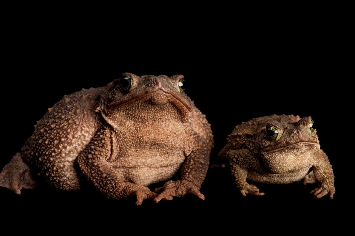 A pair of evergreen toads ('Incilius coniferus or Bufo coniferus'>) at Atlanta Zoo.