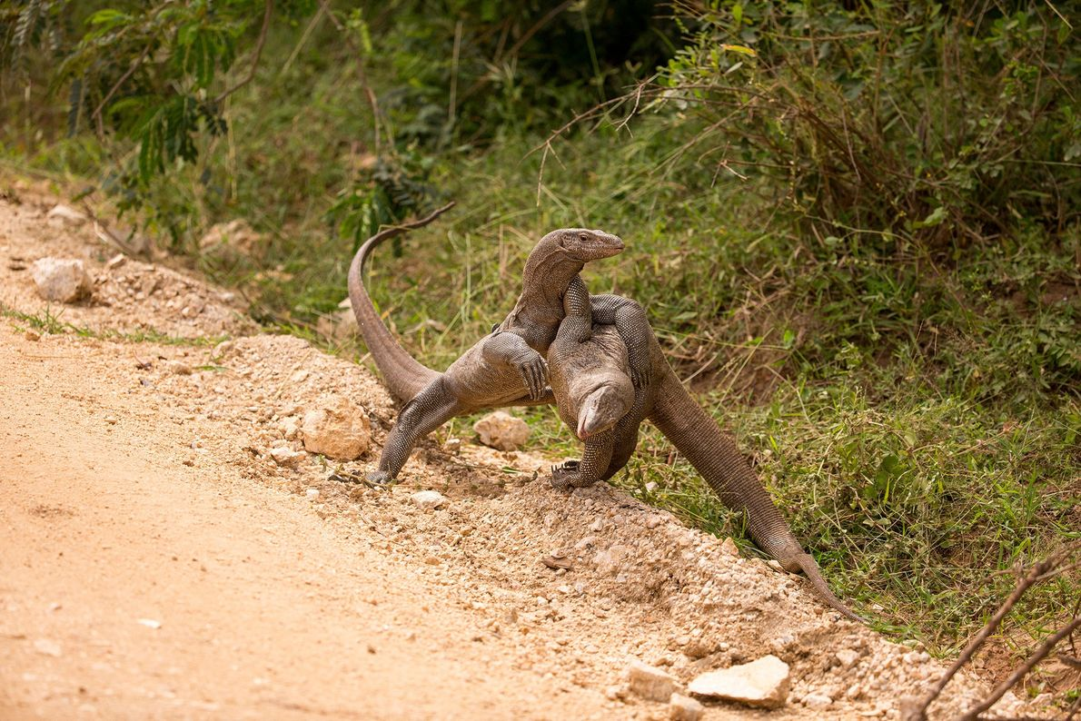 Monitor lizards tussle in Sri Lanka.