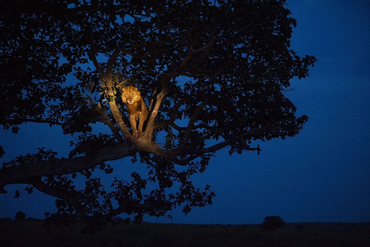 An African lion, illuminated with a spotlight, wakes up in a tree in Queen Elizabeth National ...