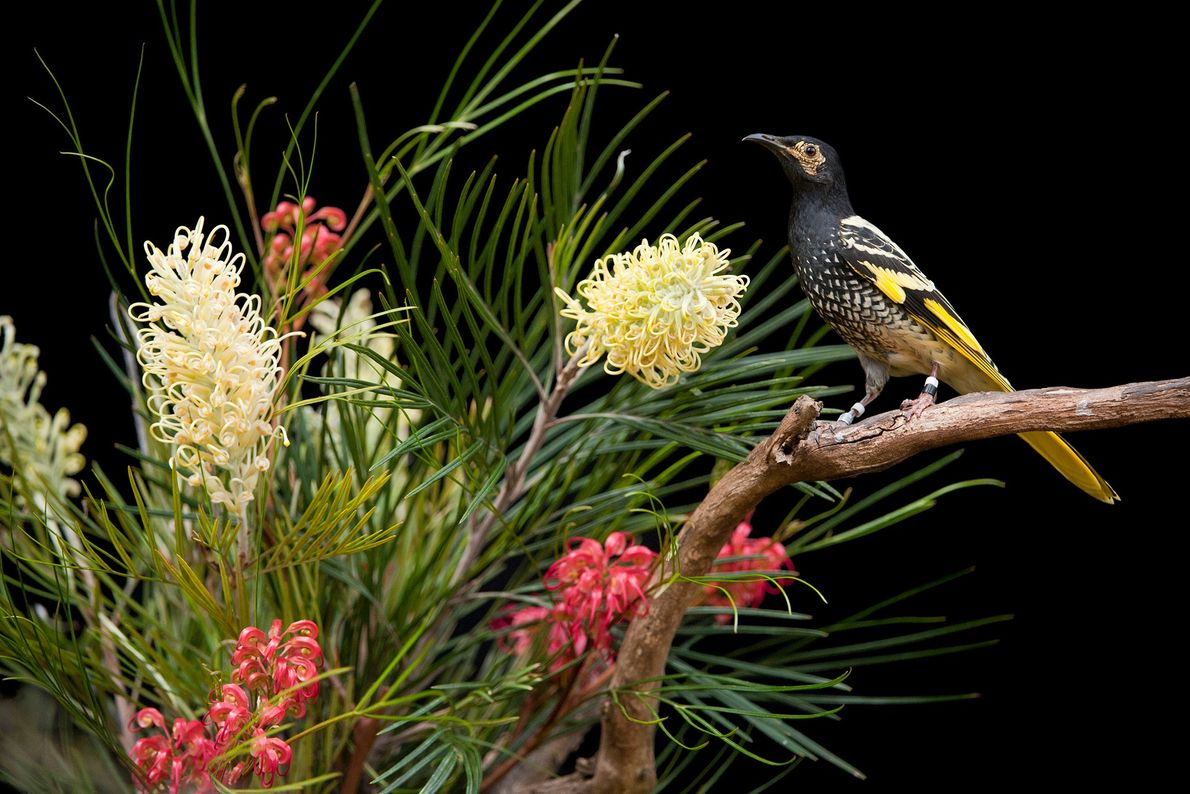 The regent honeyeater is a critically endangered bird found in forests and savannas along the eastern ...