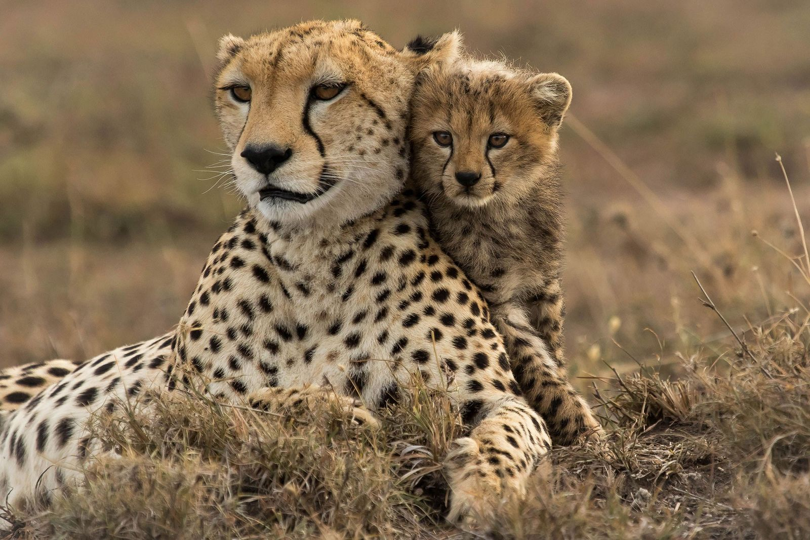 After losing its siblings to lions, a young cub keeps close to its mother in Masai ...