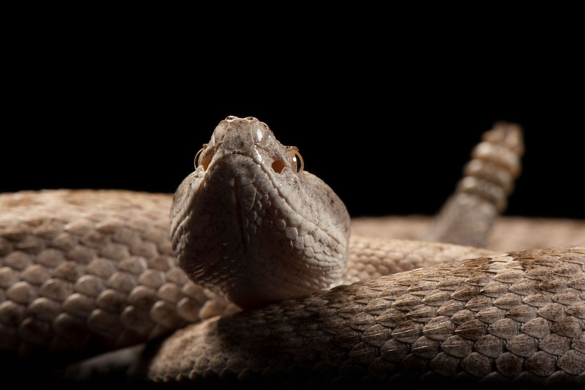 A federally threatened New Mexican ridge-nosed rattlesnake, Crotalus willardi obscurus.