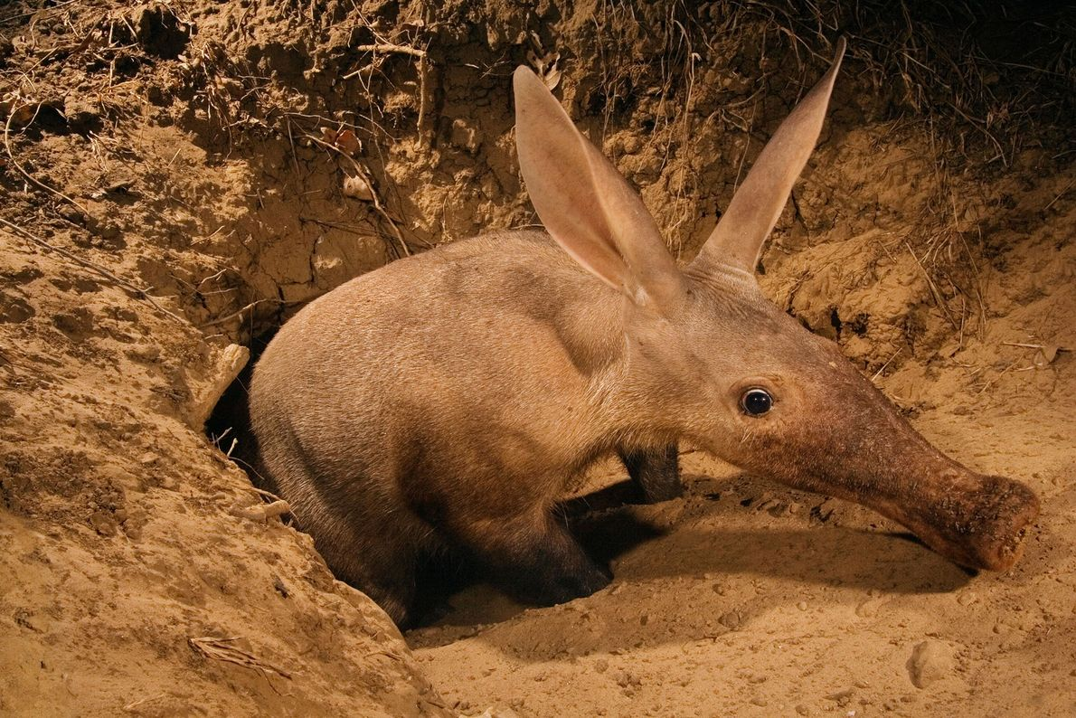 An aardvark emerging from its burrow is caught by a camera trap in Luangwa Valley, Zambia.