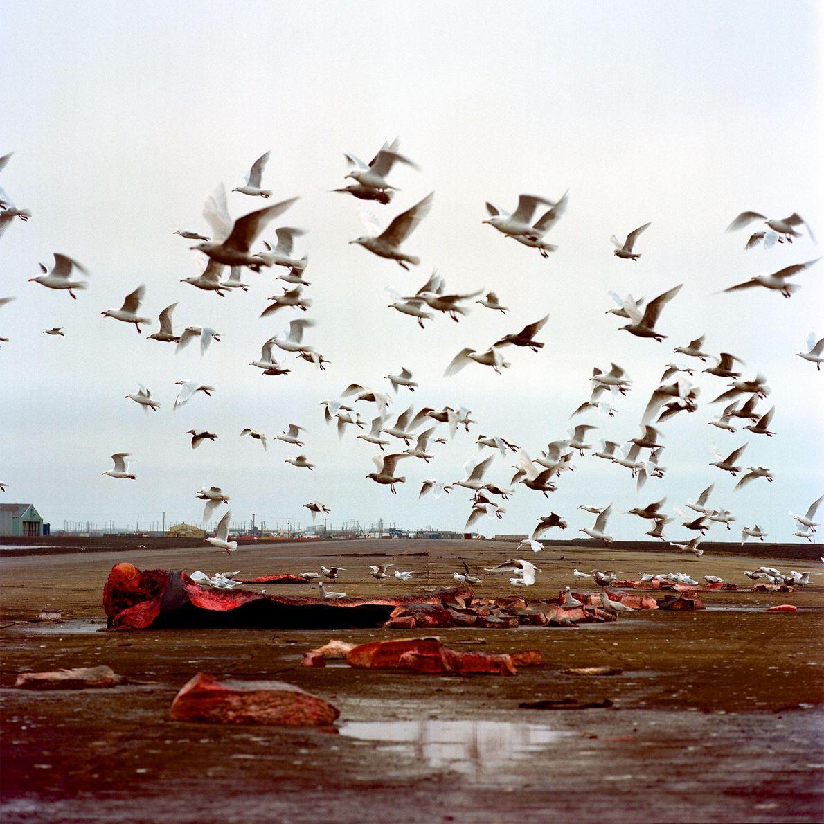 Seagulls in Utqiagvik, Alaska, enjoy what's left of a bowhead whale.