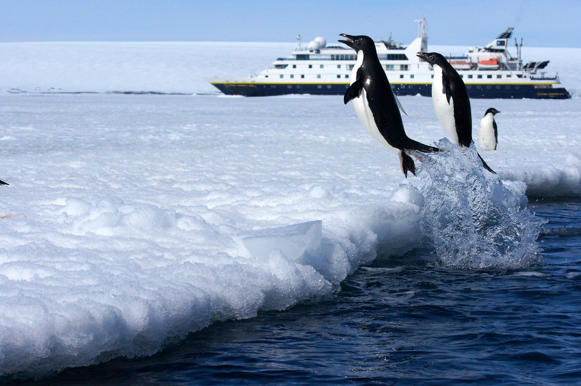 Adélie penguins leap out of the water on to the ice in Active Sound, Antarctica with ...