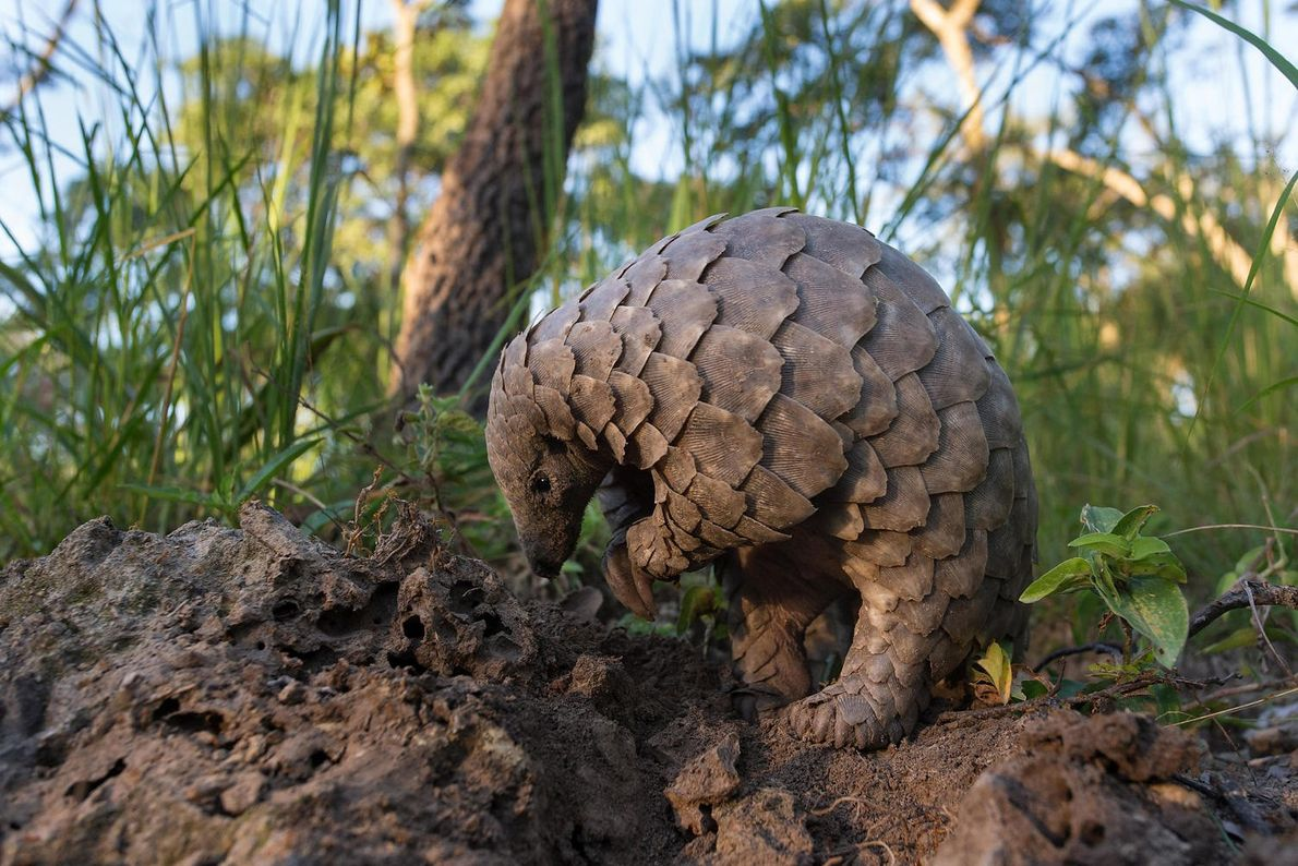 A young pangolin looks in the dirt for ants. Pangolins slurp up their prey with tongues ...