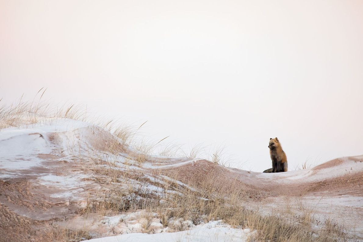 Your Shot photographer Brittany Crossman photographed this Red fox during its cross color phase in the ...