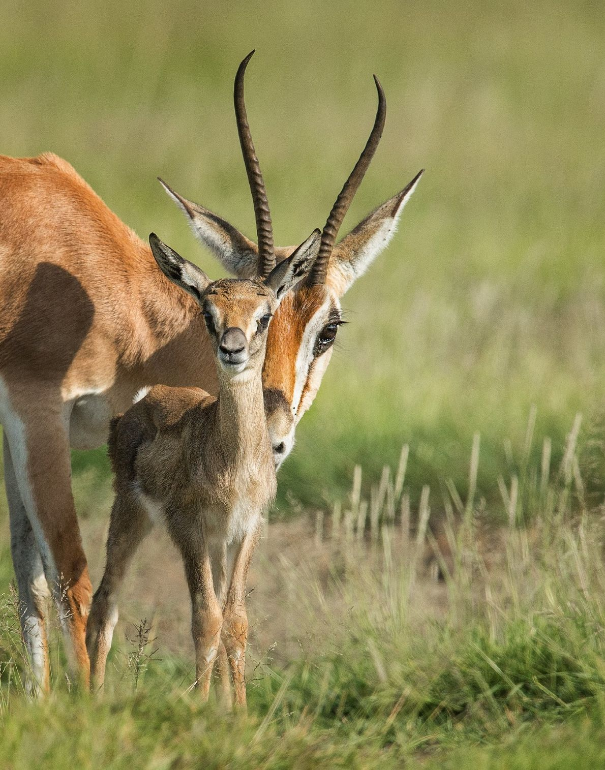 """""""A Grant's gazelle mother stays close to her calf, keeping a watchful eye out for predators, ..."""