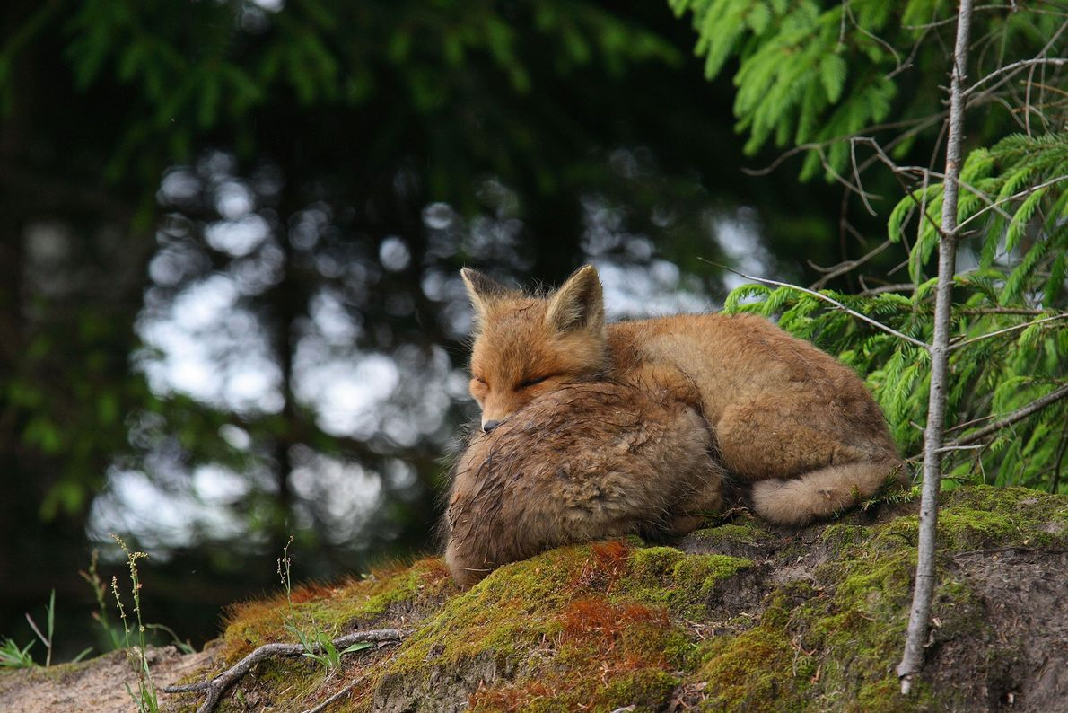 A pair of red foxes take a rest.