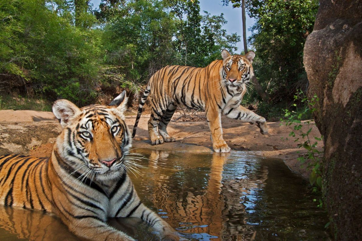 Two Bengal tiger (Panthera tigris tigris) cubs play at a waterhole in Bandhavgarh National Park, India. ...