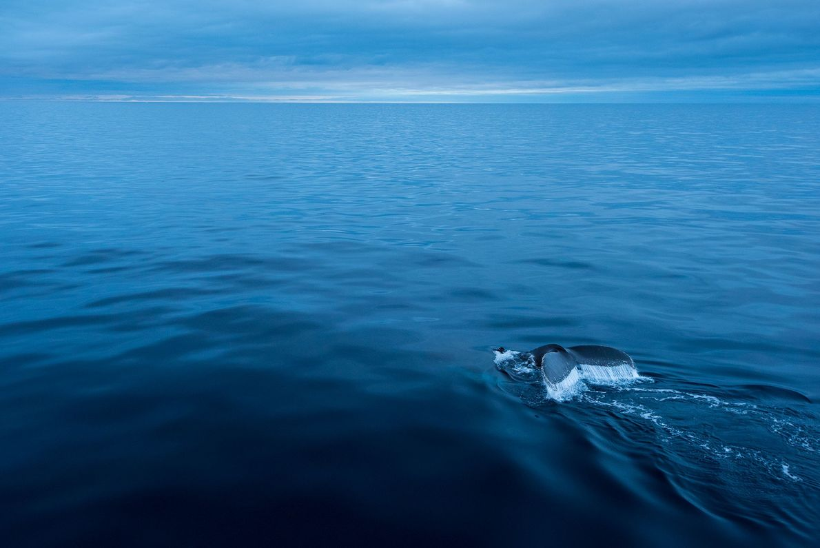 Humpback whales (pictured, an animal near Antarctica) emit moans, howls, cries, and other complex noises that ...