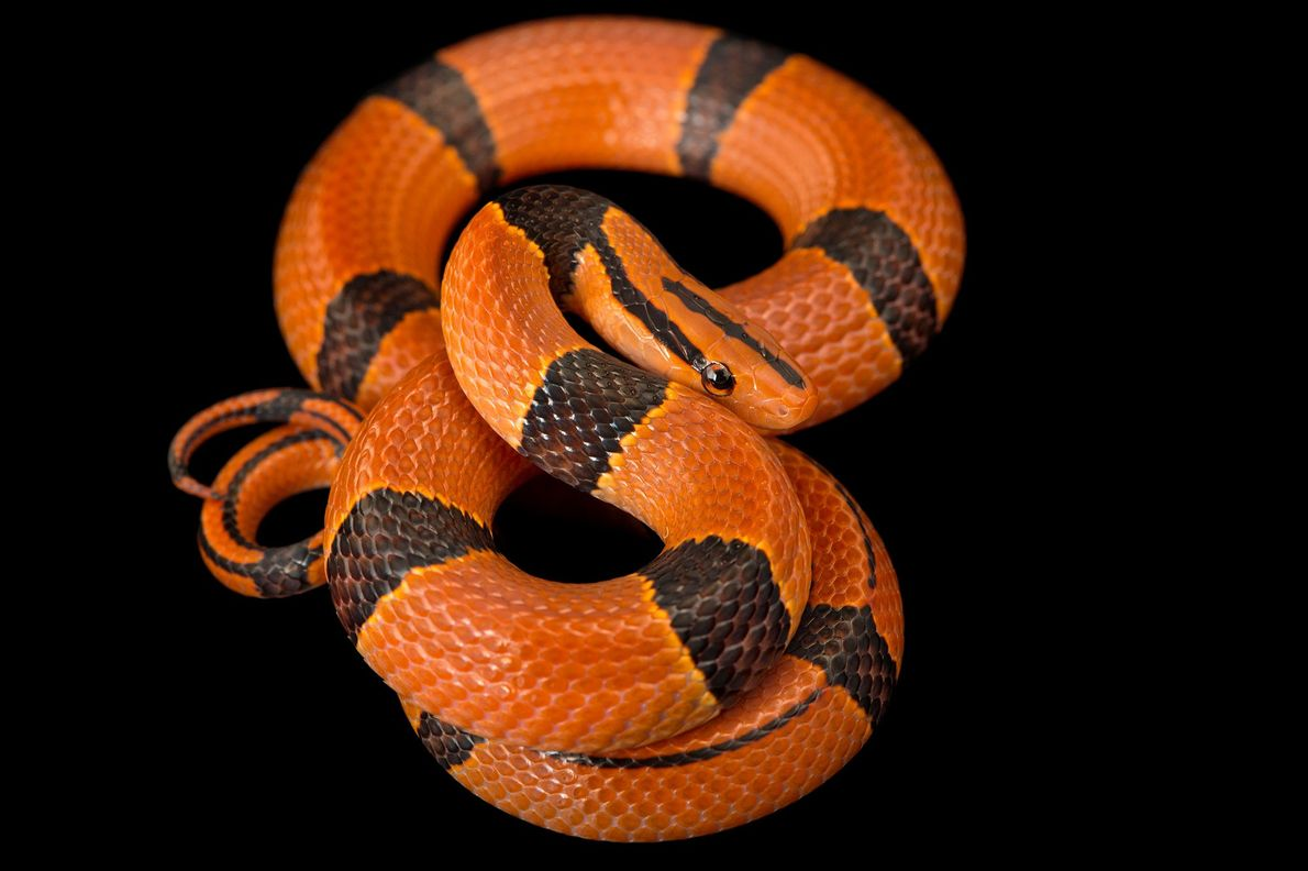 The red bamboo snake, 'Oreocryptophis porphyraceus pulchra', from a private collection.