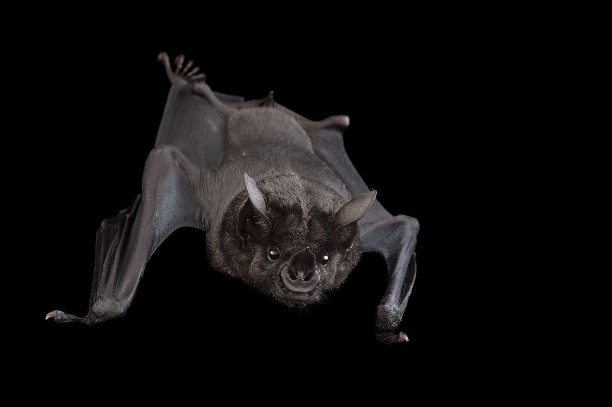 A greater spear-nosed fruit bat, Phyllostomus hastatus, at the Omaha Henry Doorly Zoo.