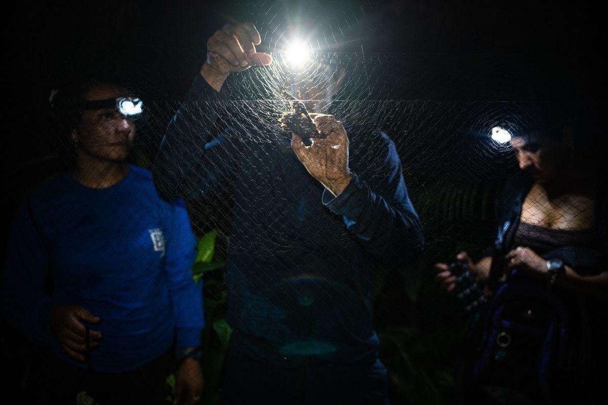Juan Fernando Diaz, a mammalogist and expedition leader, carefully plucks a bat from a mist net, ...