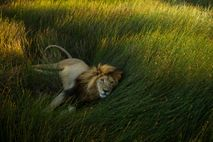 A lion rests in the grass of the Serengeti plains.