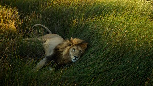 The Lion: King of African Cats In Pictures