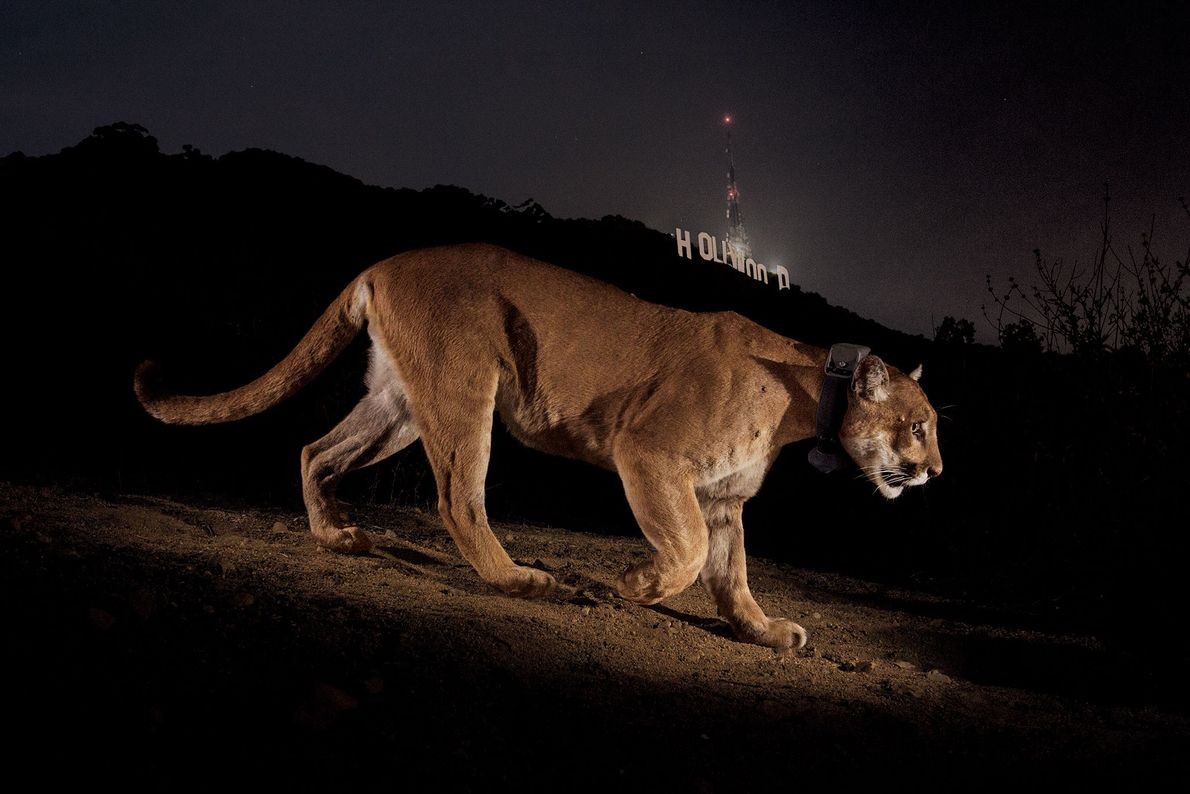 Hollywood's most reclusive star, cougar P22 was first seen in Griffith Park in Los Angeles, USA, ...