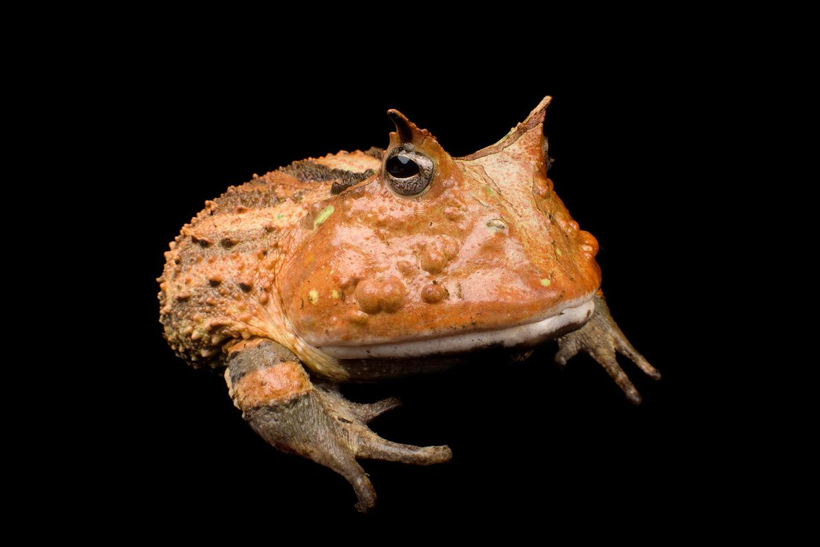 The 'horns' of the horned frog are extensions of the amphibians' brow. These devilish creatures have ...