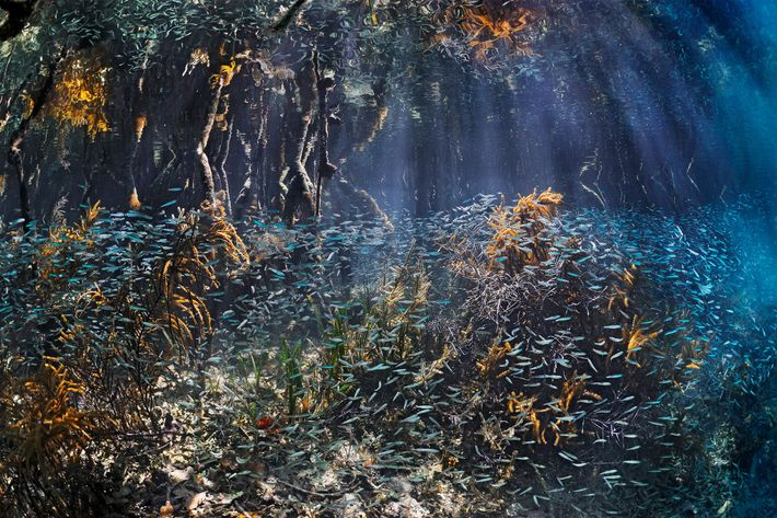 Schools of young fish swarm among the mangroves in Belize, where they find protection that allows ...