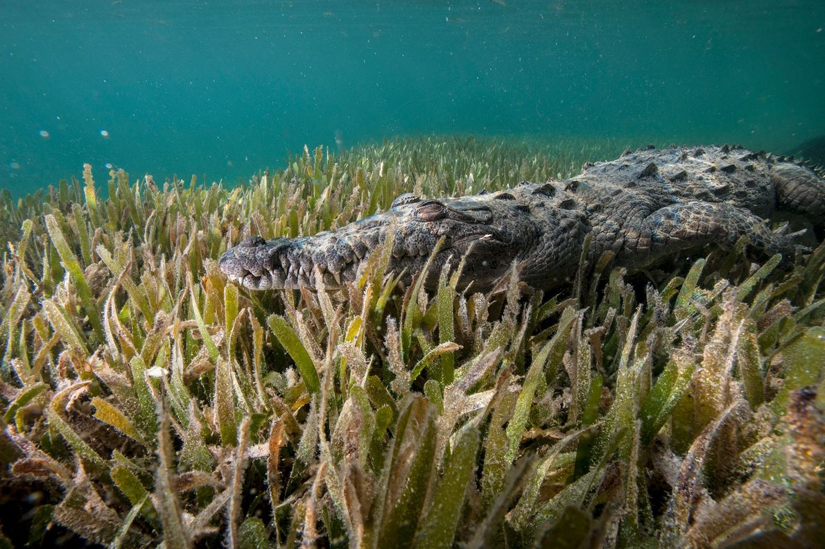A submerged American crocodile (Crocodiles acutus) lives in the dense mangroves within Cuba's Gardens of the ...